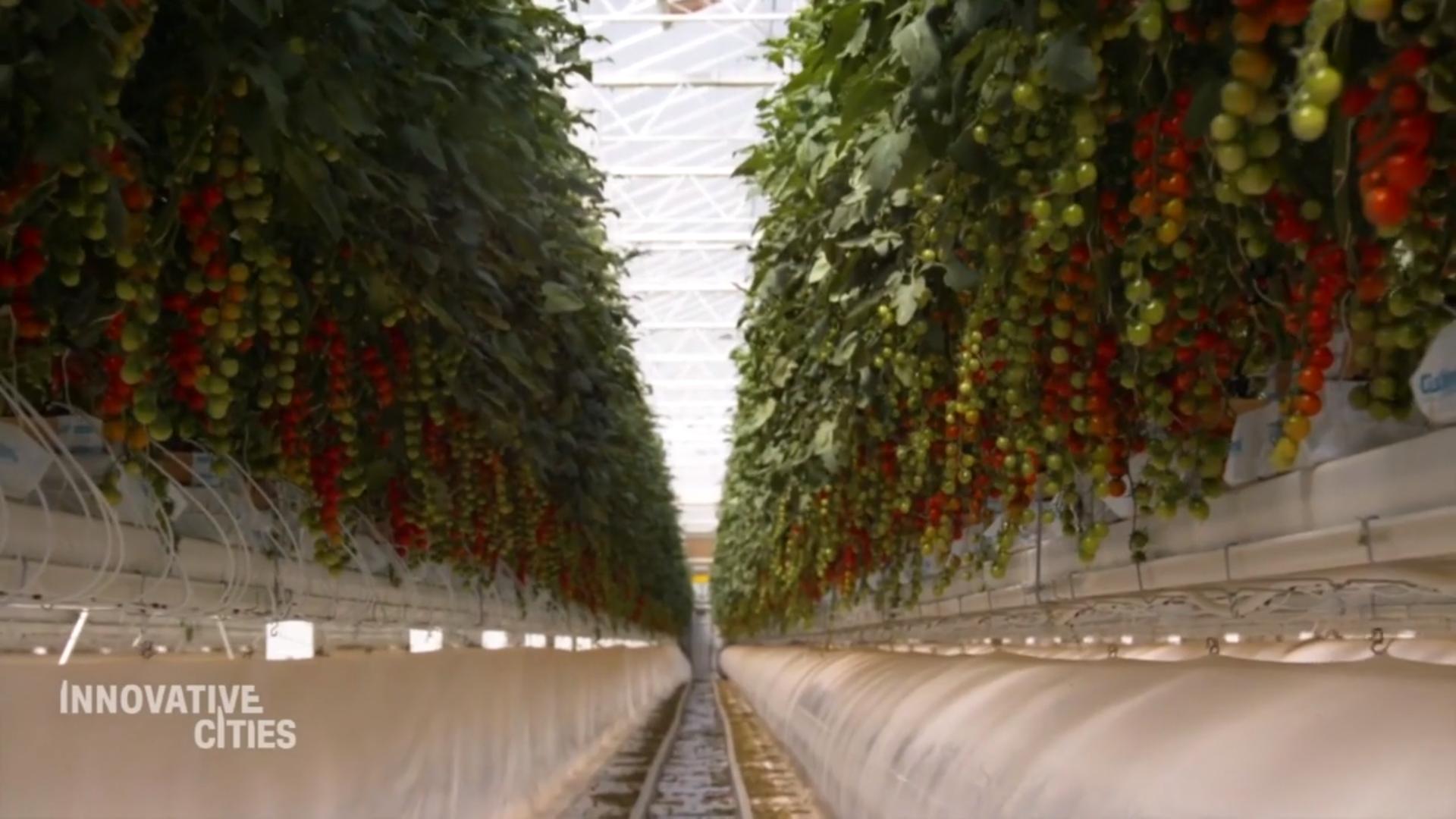Perkembangan Pertanian Tomat Modern di Gurun Ini Sedang Naik Daun