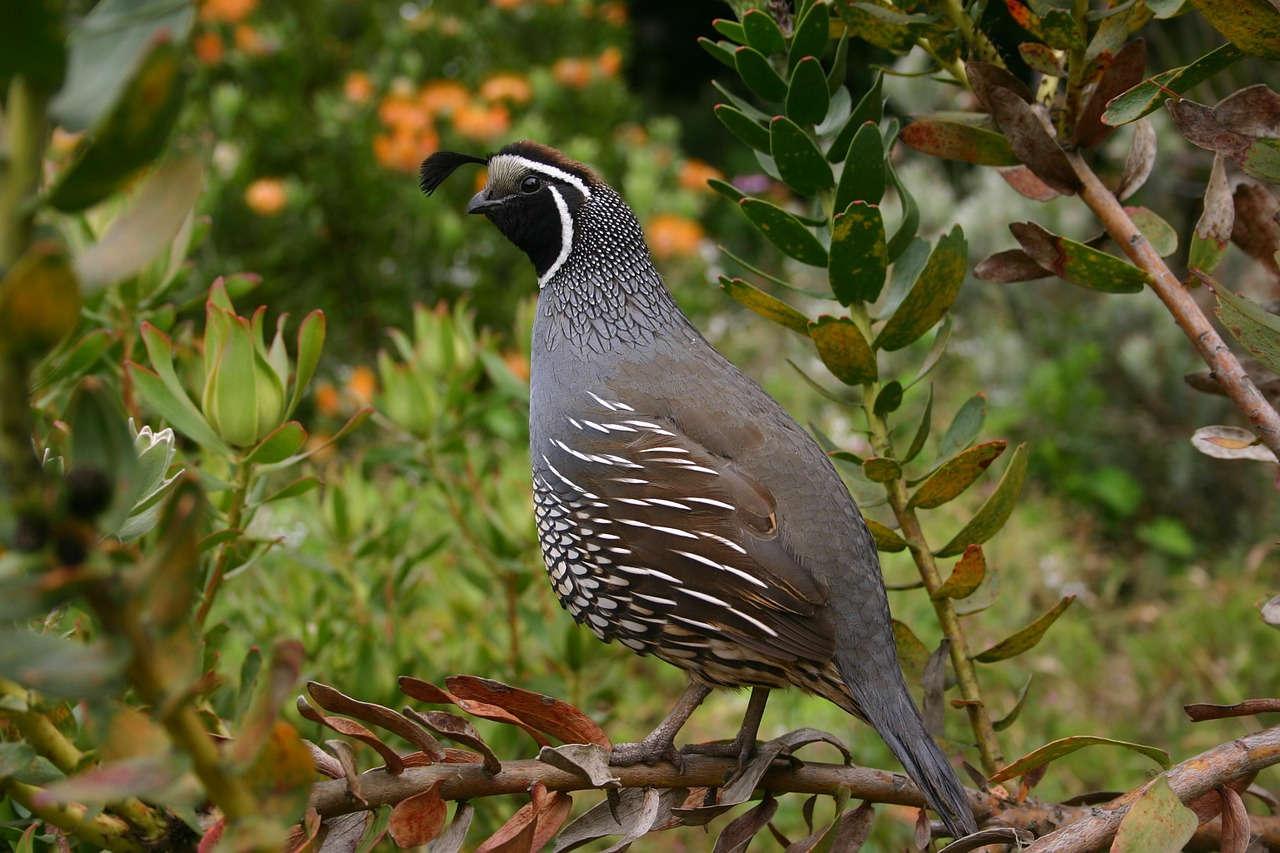 Alasan Memulai Bisnis Burung Puyuh Bagi Pemula