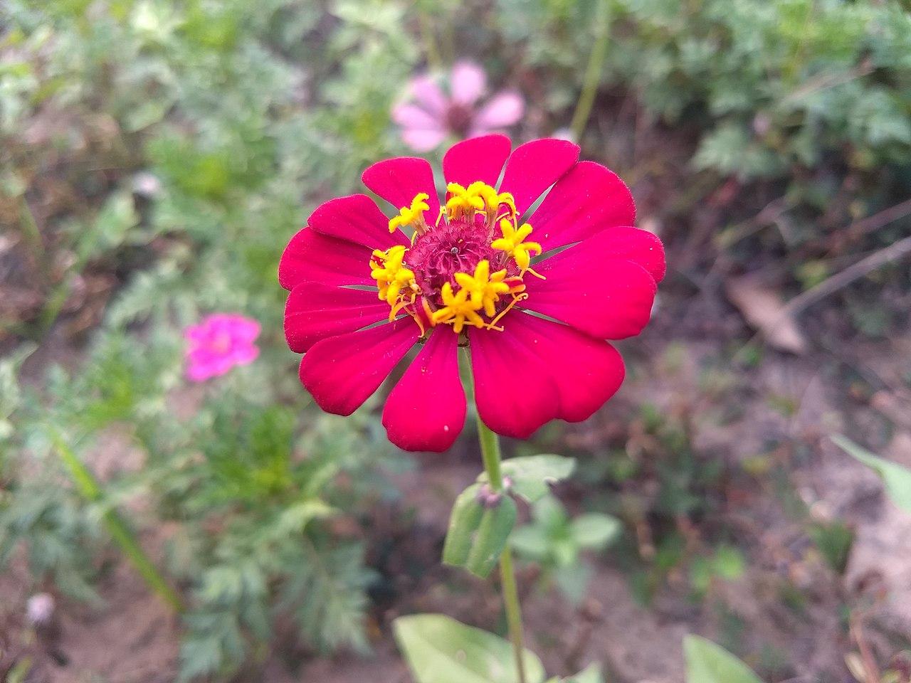 Bunga Kertas Bisa Dijadikan Sebagai Bunga Pengusir Hama Padi