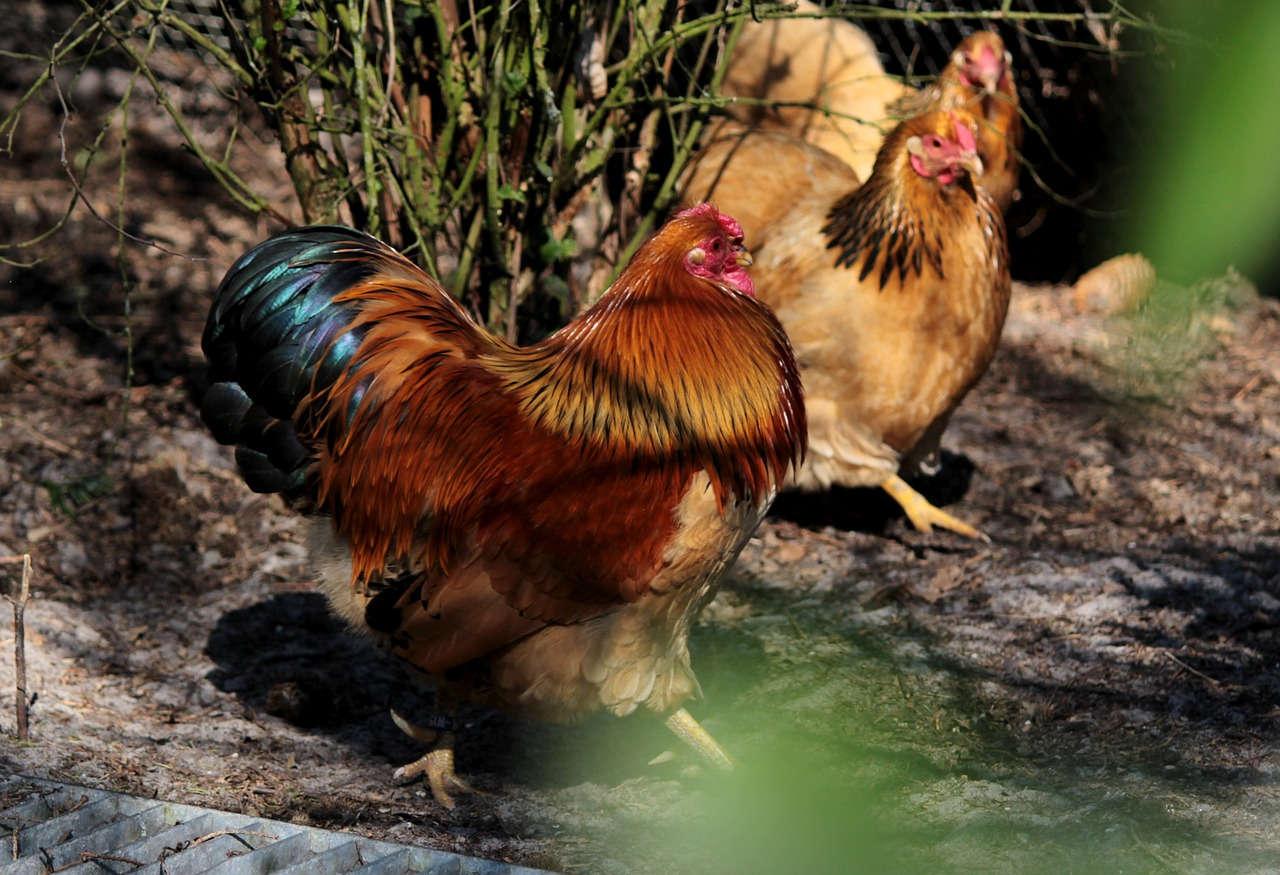 Hadapi Sengketa Dagang Brasil Soal Impor Daging Ayam, Indonesia Gelar Rapat Koordinasi