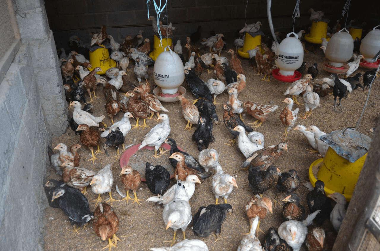 Kandang saat beternak ayam kampung juga harus disesuaikan