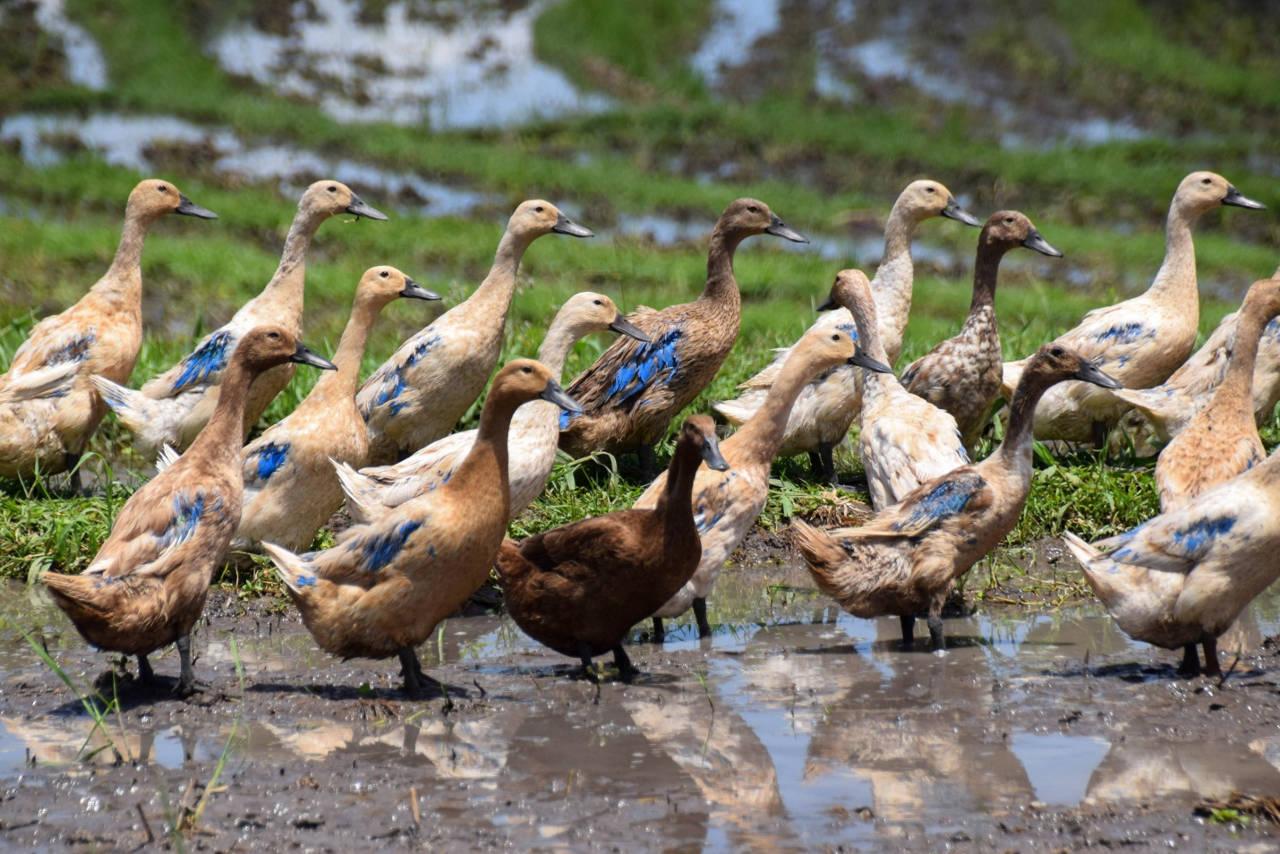 Hasil gambar untuk bebek