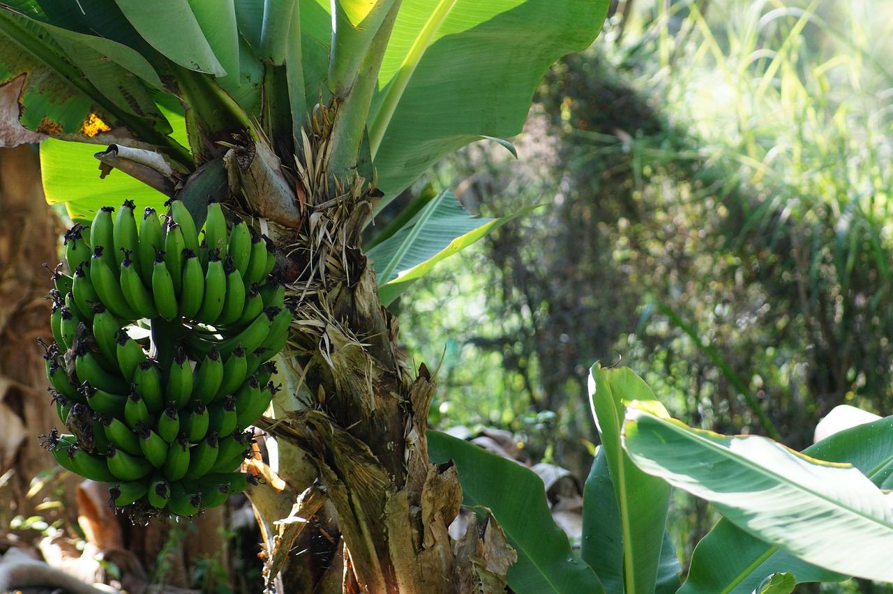 Ekspor pisang
