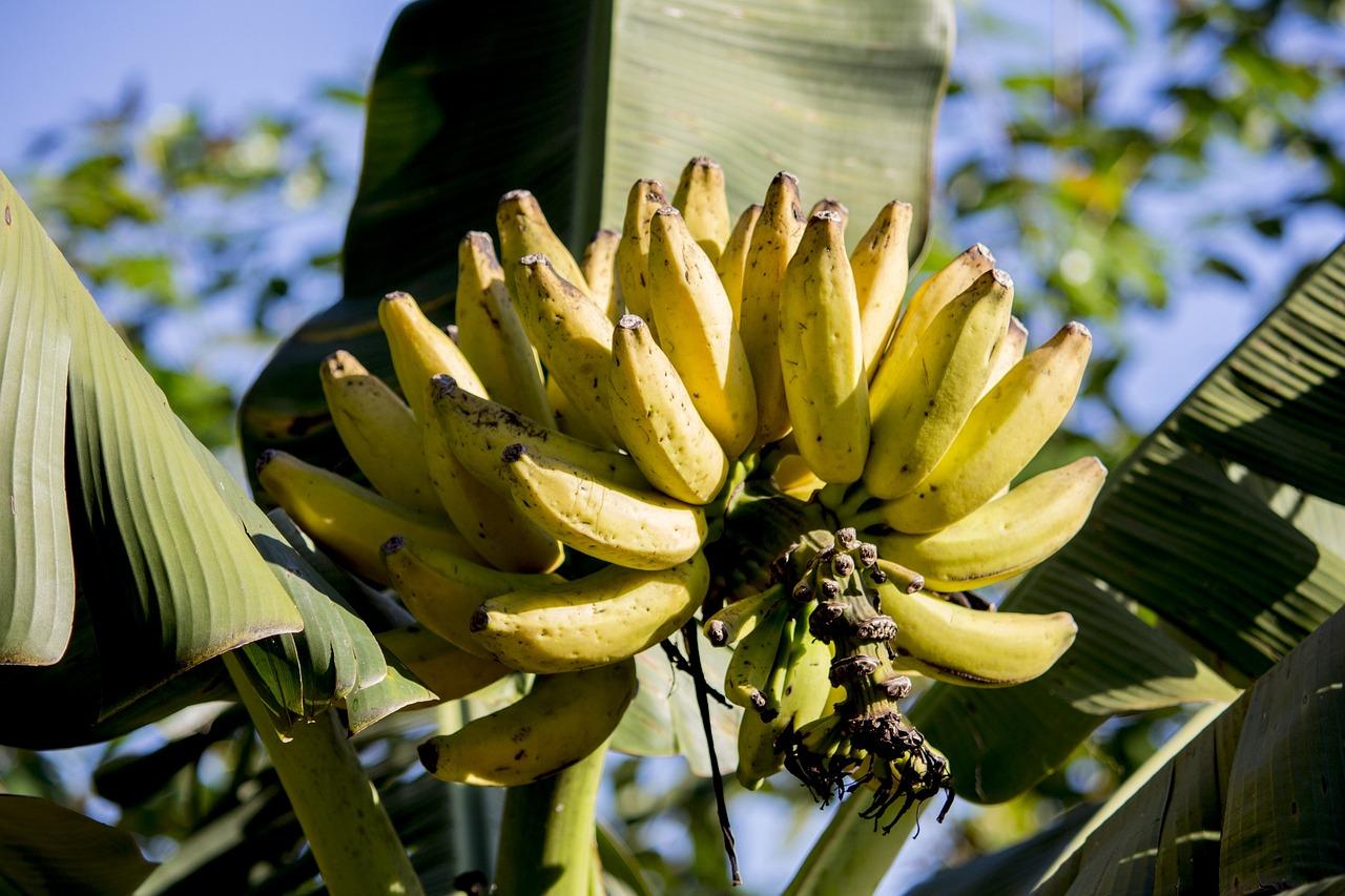 ekspor pisang di pasar internasional