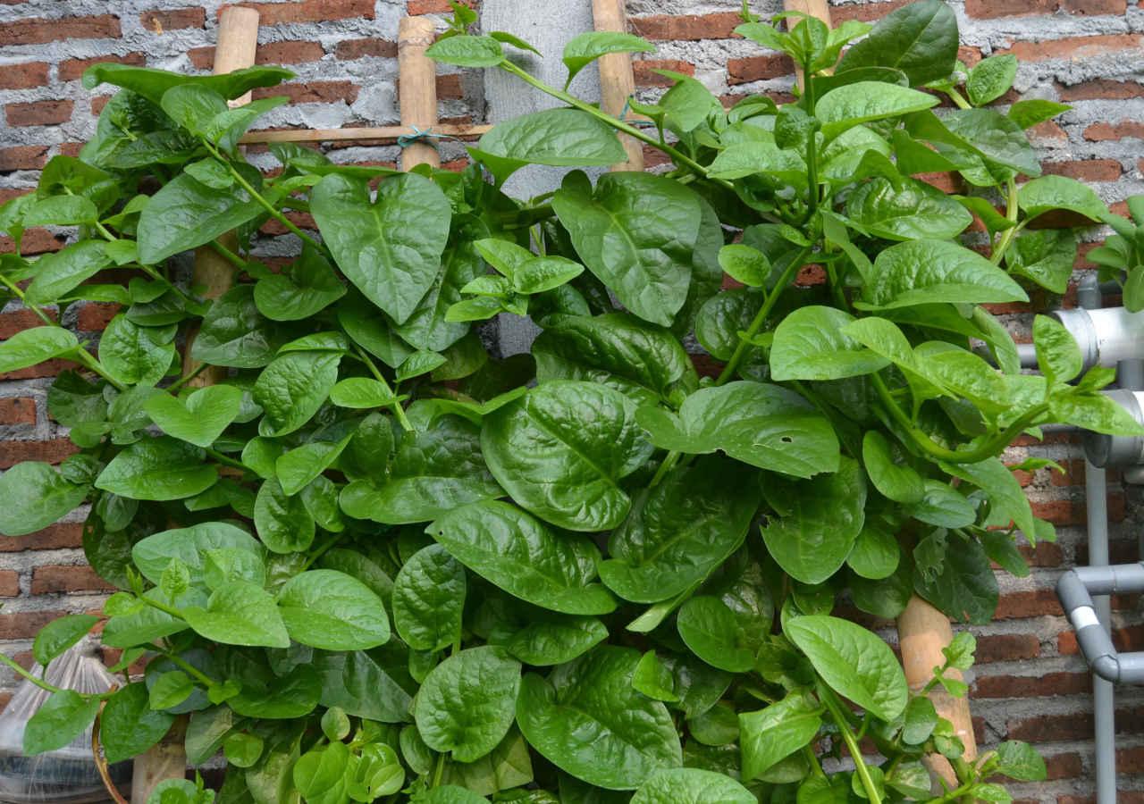 Basella Alba (Hijau)