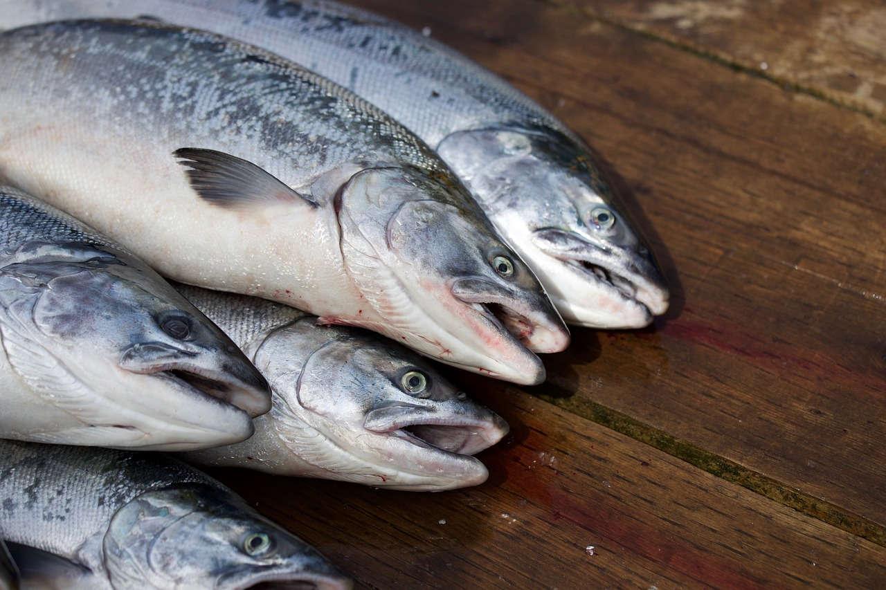 Budidaya Ikan Salmon