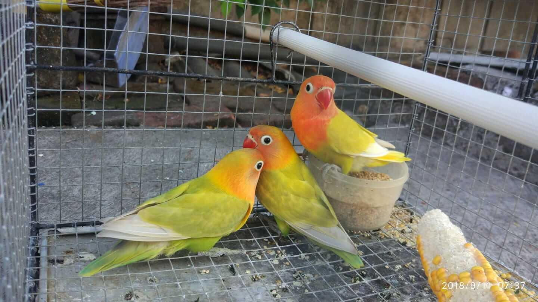 Memberikan Pakan kepada Lovebird