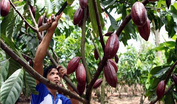 Membudidayakan Kakao