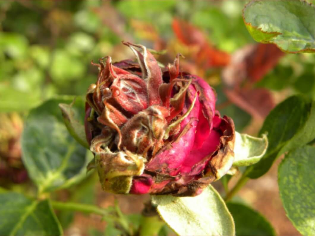 Penyakit Bercak Daun pada Bunga Mawar