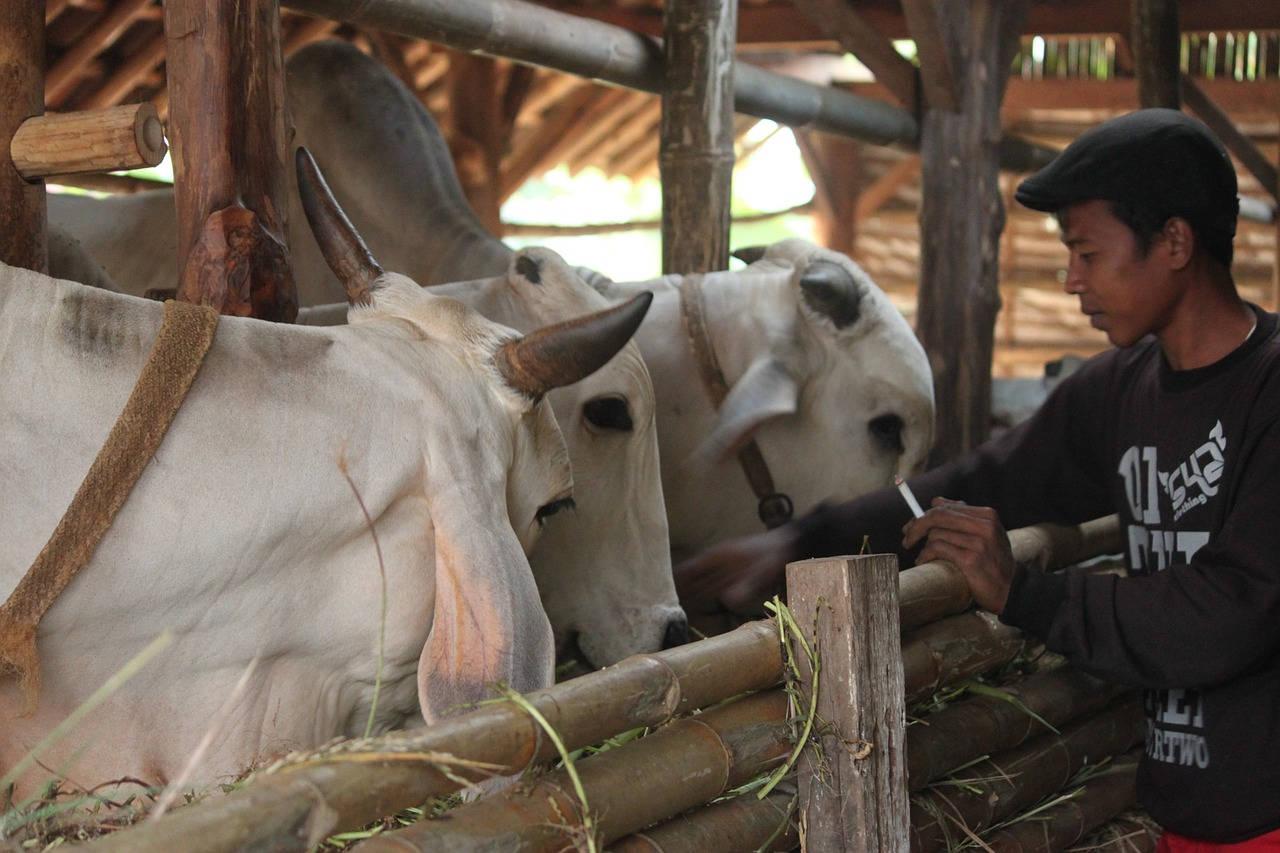 Sapi Jawa