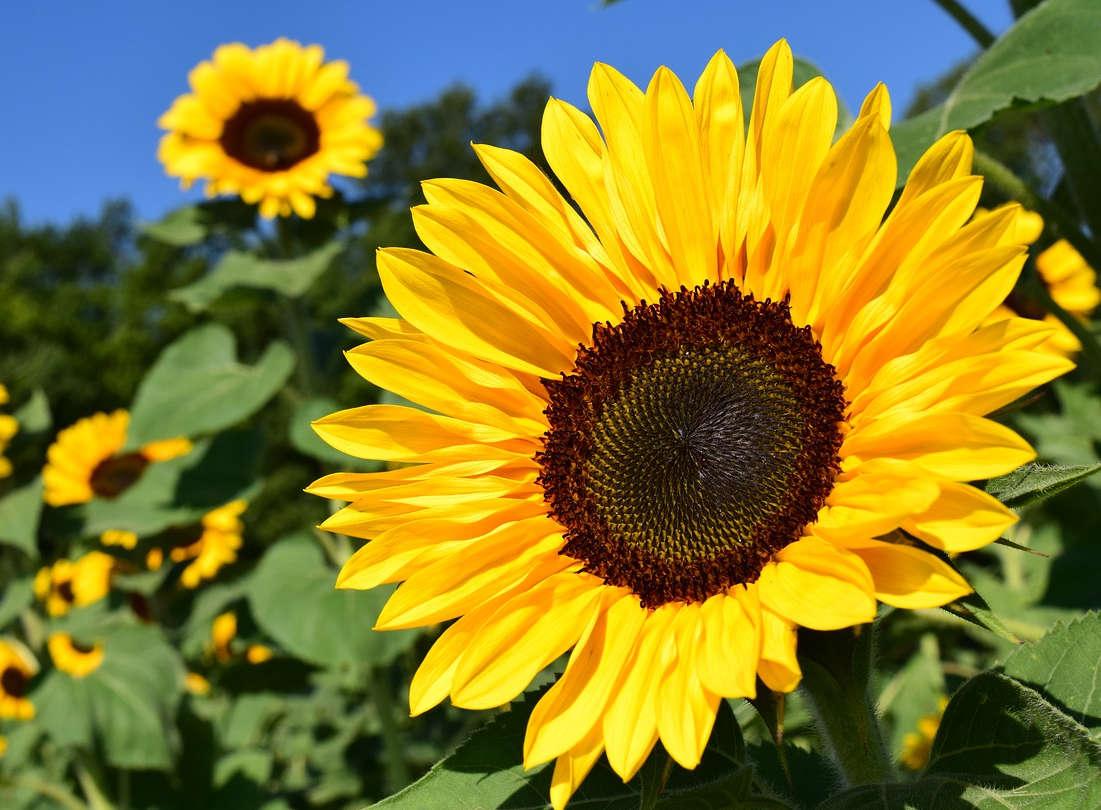 4 Tahap Mudah Menanam Bunga Matahari dari Biji