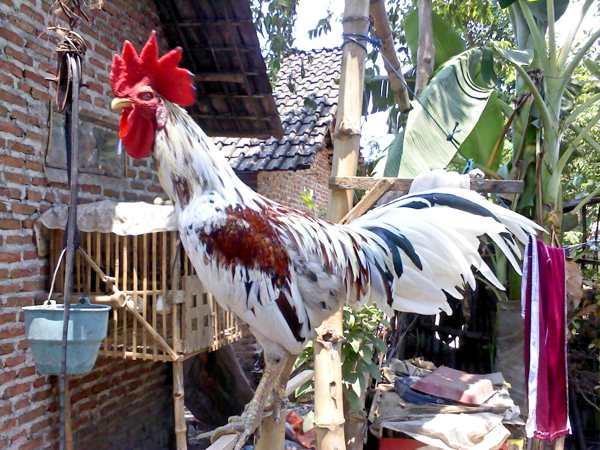 Ayam Ketawa Putih