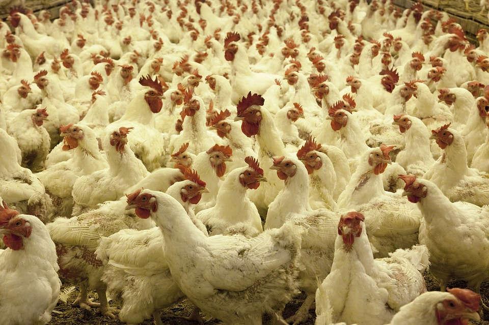 Ayam Petelur Putih