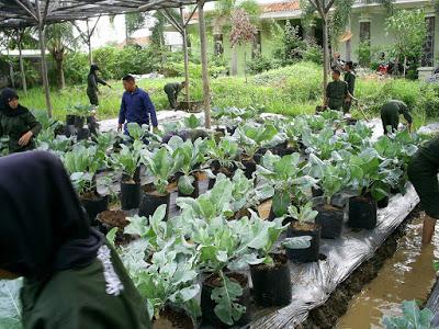 Brokoli Hidroponik