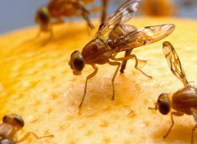 Cara Mengendalikan Hama Lalat Buah yang Ramah Lingkungan