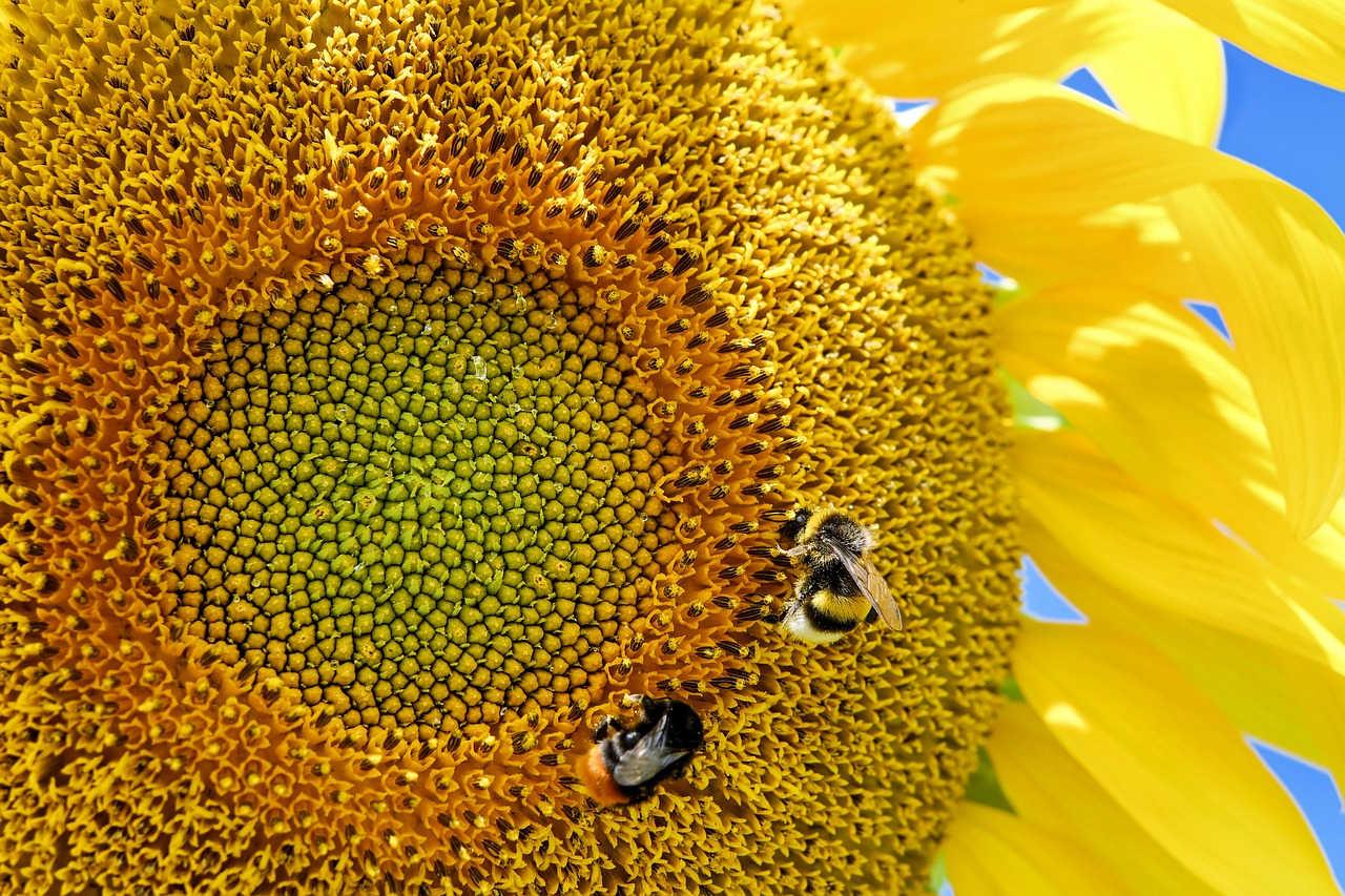 Panen Biji Bunga Matahari