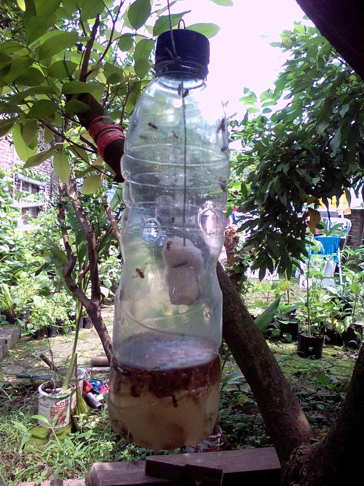 Perangkap Hama Lalat Buah dengan Menggunakan Botol