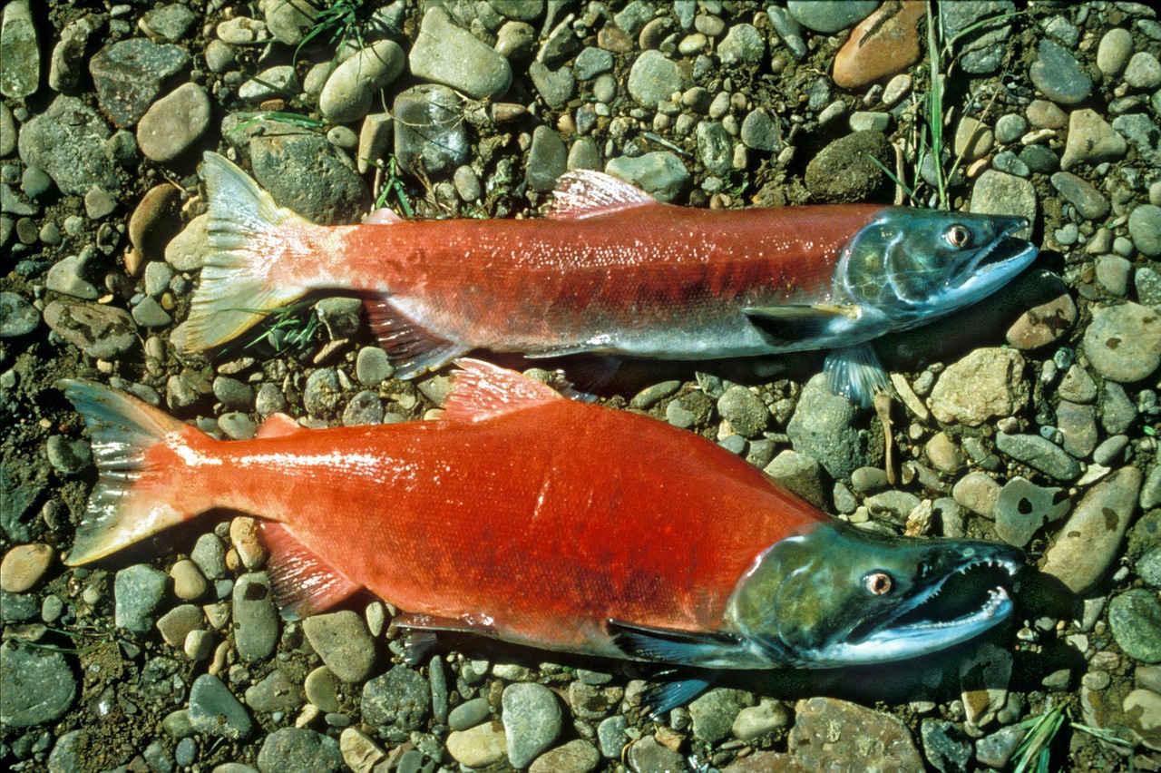 Salmon Merah