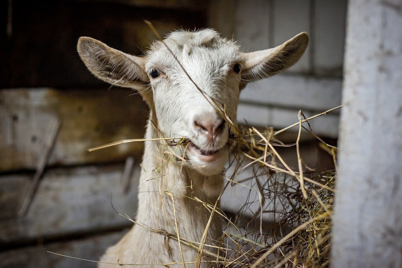 pupuk cair urin kambing