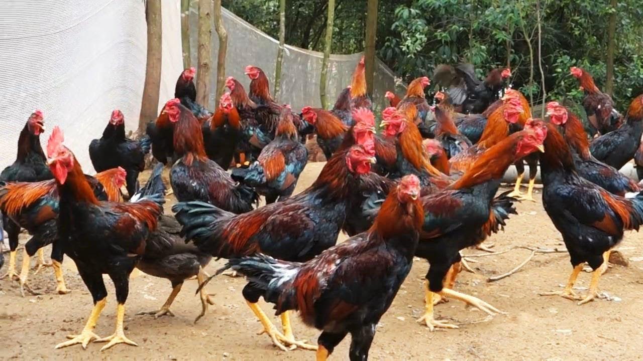 Beternak Ayam Jawa Super