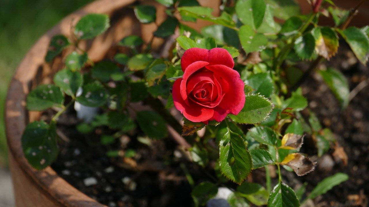 Bunga Mawar di dalam Pot