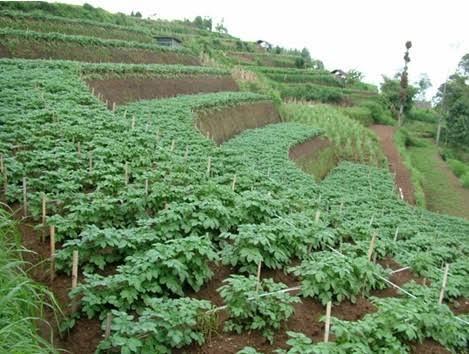 Kebun kentang