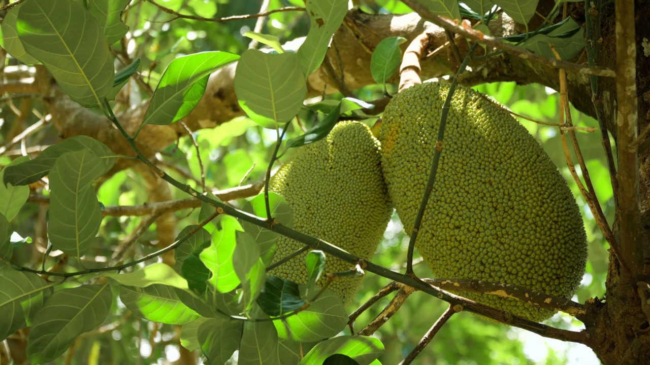 Pohon Nangkadak