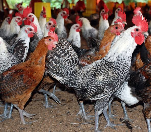 Ternak Ayam Arab