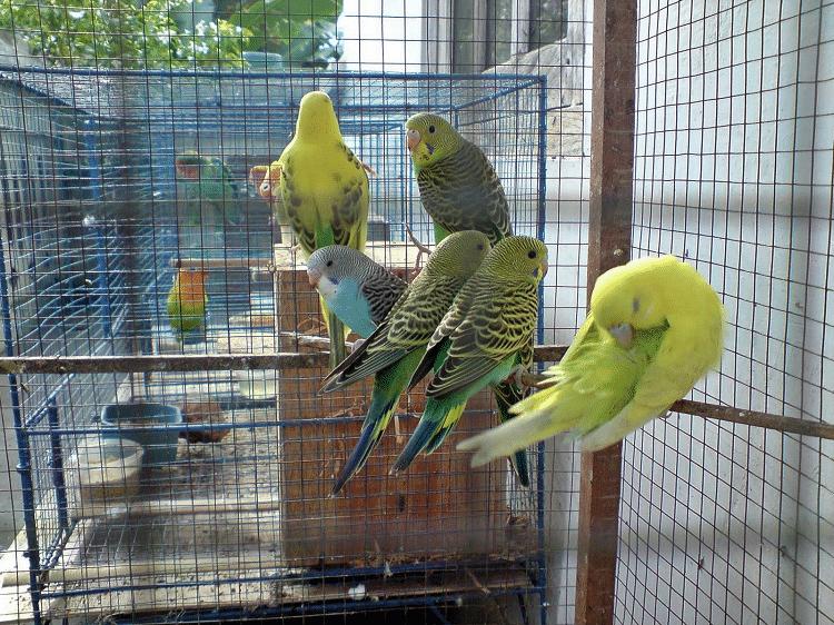 kandang burung parkit