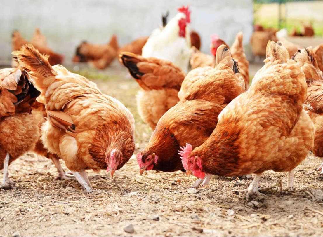 Budidaya Ayam Kampung dengan Modal Kecil