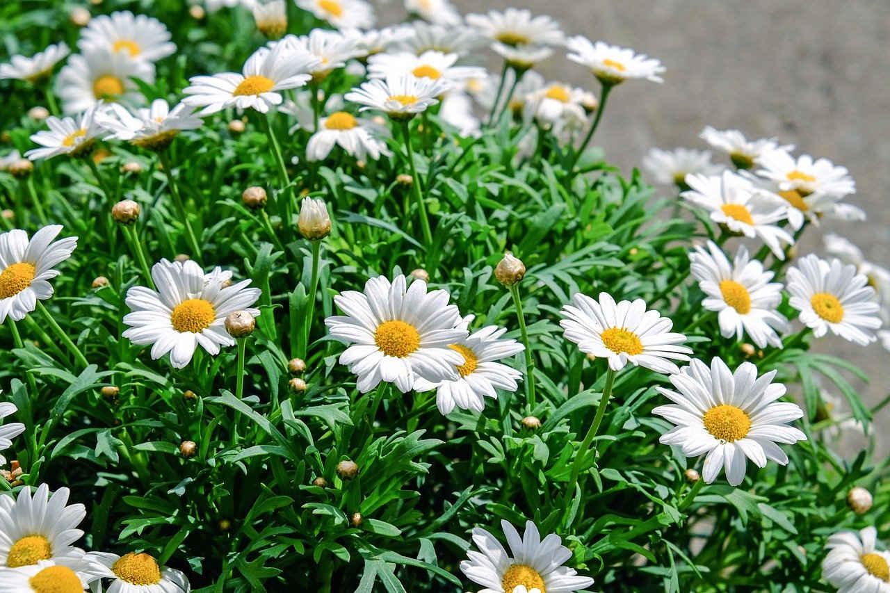 Bunga Aster Putih
