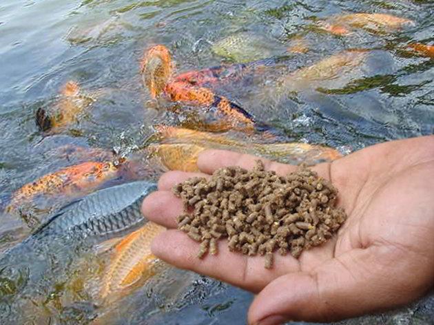 ternak ikan nila merah