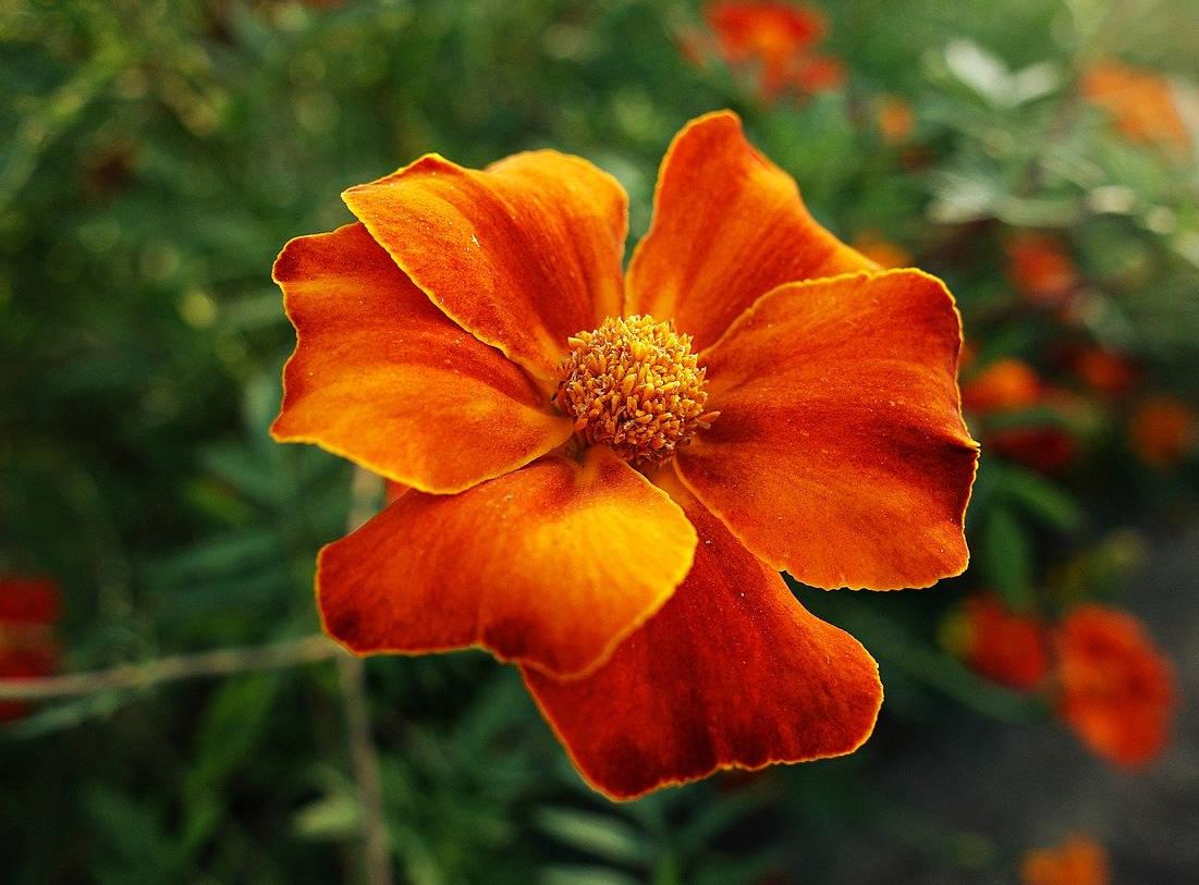 Menanam Bunga Marigold - GU