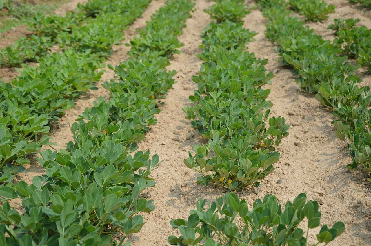 Lahan Kacang Tanah
