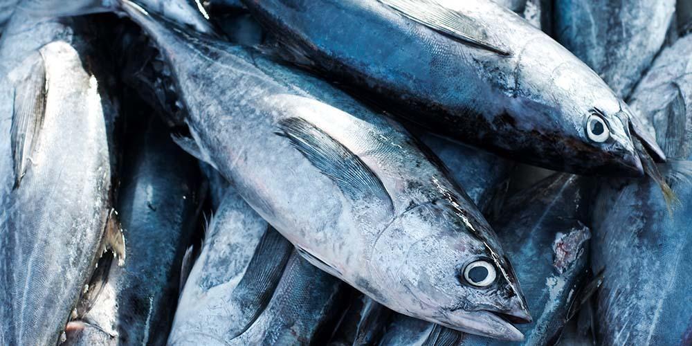 anakan ikan tuna