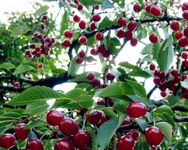 menanam buah cherry