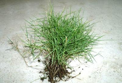 gambar-rumput-jepang