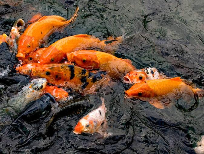 Ternak Ikan Mas Bagi Pemula