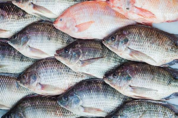 ikan nila