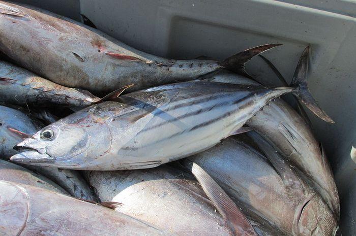 budidaya ikan tuna