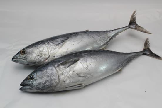 9 Jenis Ikan Tuna Yang Harus Kamu Ketahui Pak Tani Digital