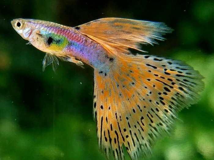 Cara Mudah Budidaya Ikan Guppy Bagi Pemula