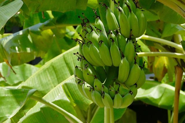 pupuk batang pisang