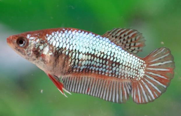Dengan 5 Tips Ini Budidaya Ikan Cupang Menjadi Mudah Pak Tani Digital