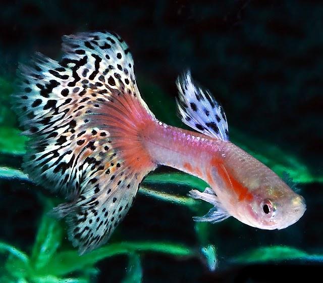 Cara Mudah Budidaya Ikan Guppy Bagi Pemula   Pak Tani Digital