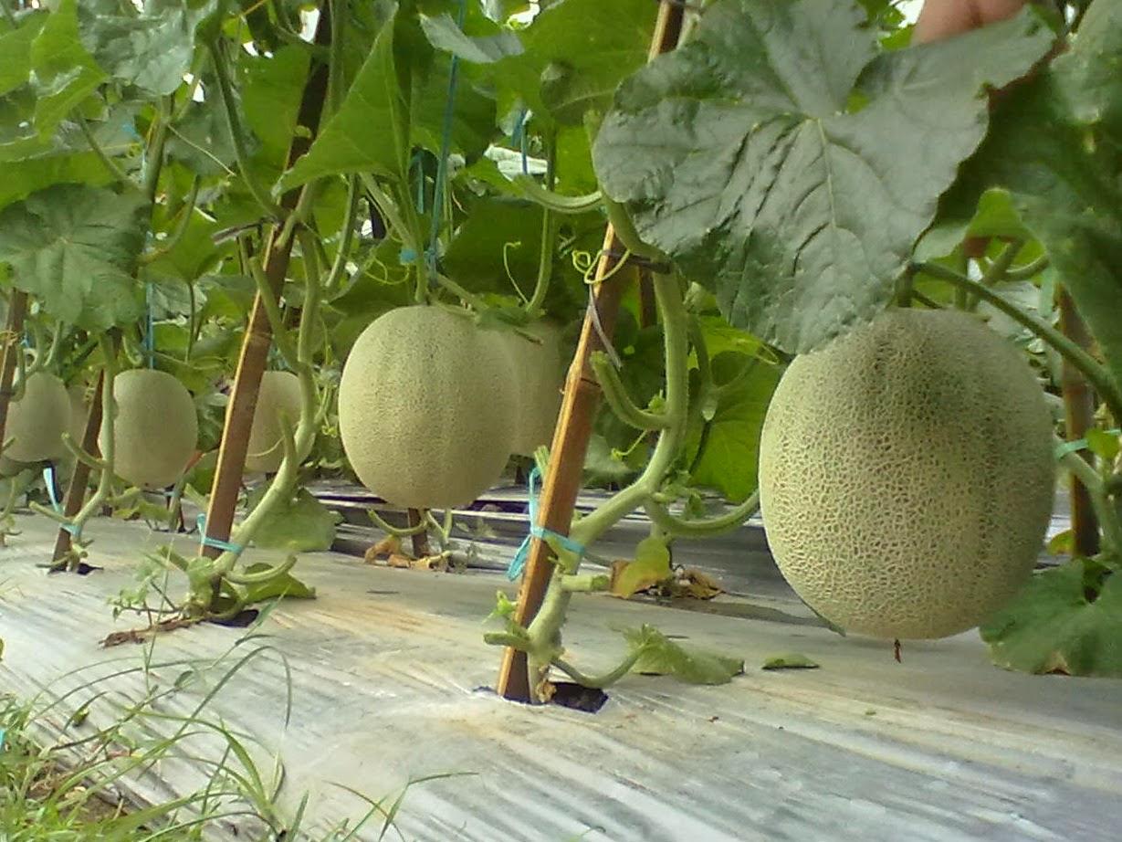 lahan buah melon