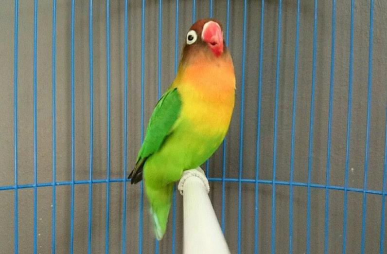 masteran lovebird