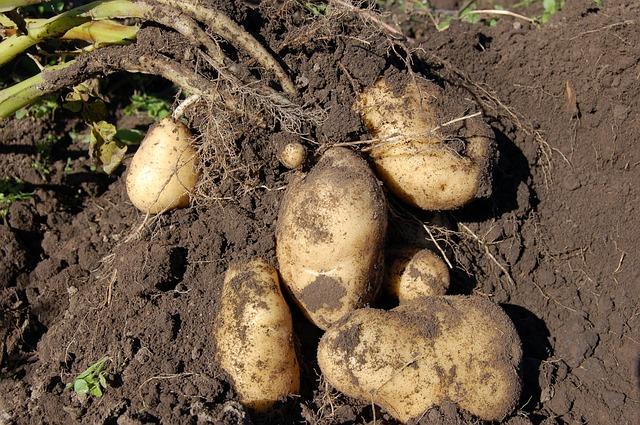 varietas kentang