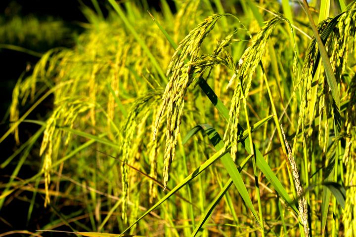 klasifikasi benih padi