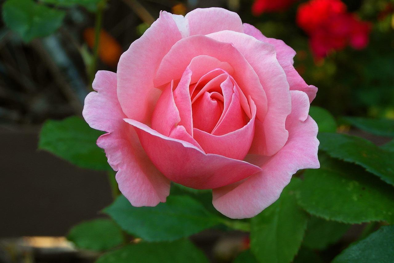 stek bunga mawar